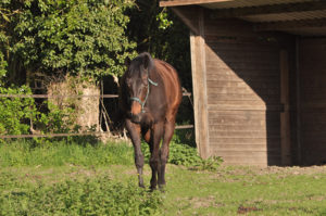 cheval au ecurie de la Madeleine